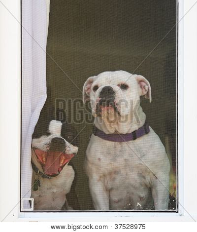 a boston terrier and a bulldog look through a screened window