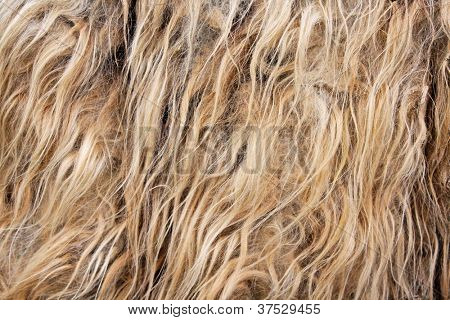 Ein Lama-Haar-Closeup (Textur)
