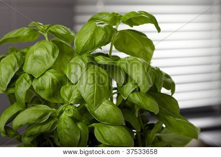 Basil in kitchen