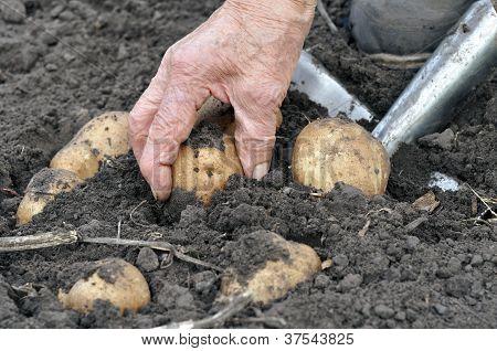 Senior Woman Harvesting Potatoes
