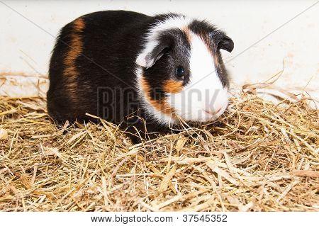 Guinea Pig In Terrarium