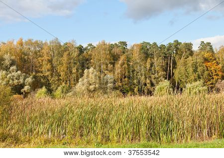 Autumn Landscape With Forest And Rush Plant