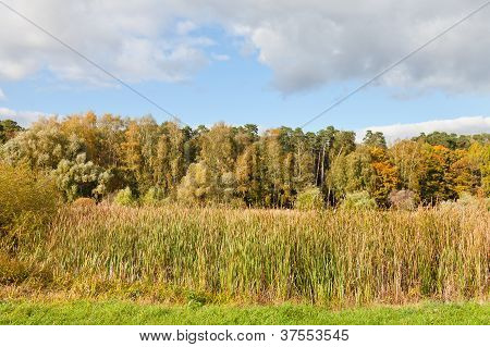 Autumn Scenery With Forest And Rush Plant