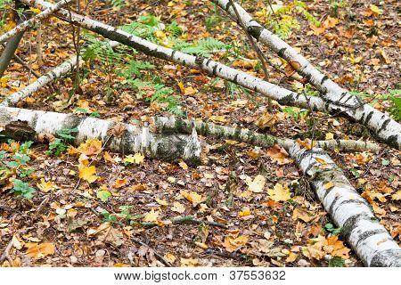 Birch Trunks In Brown Autumn Leaf Litter