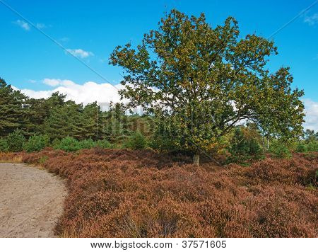 Path through heath and pines