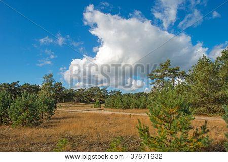 Field in a pinewood