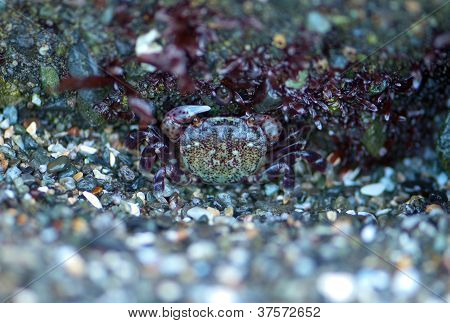 Camouflaged Crab