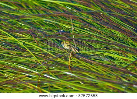 Peeking Crab