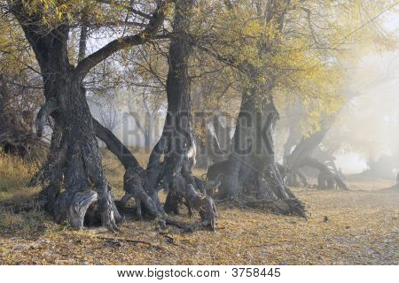 Old Roots In A Veil Of A Fog