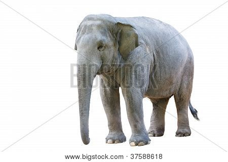 Asian Elephant Female