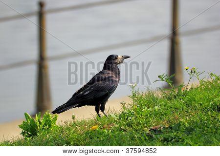Corvus Frugilegus In The Grass