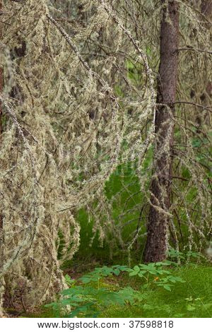 Tree lichens beards background texture pattern