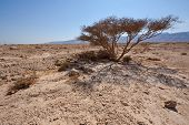 picture of samaria  - Dry Tree and Big Stones in Sand Hills of Samaria Israel - JPG
