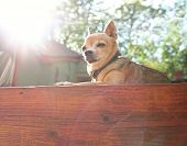 image of spayed  - a tiny chihuahua sunning himself on a deck - JPG