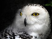 pic of hedwig  - Close - JPG