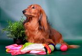pic of long-haired dachshund  - Long haired dachshund sitting with decoration on green background - JPG