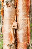 Paper birch Betula neoalaskana bark background