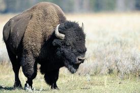 stock photo of lamar  - Adult Buffalo on the plain at Yellowstone - JPG