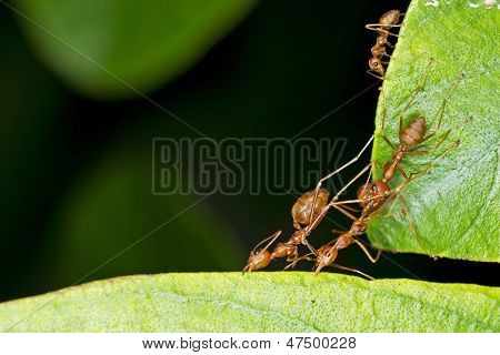 weaver ants making hive