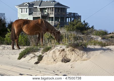 Wild horses graze in the protected northern tip of the Outer Banks in Corolla, North Carolina among the houses.
