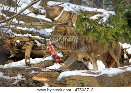 A Wolf holds a piece of meat in the mouth