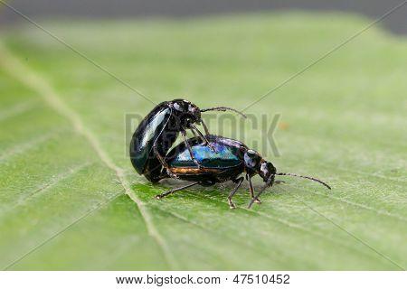 Pair Of Black Beetles, Mating Behavior
