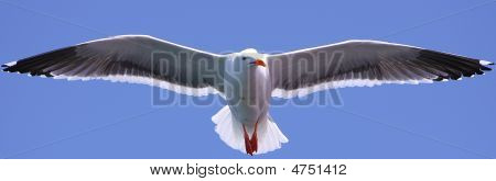 Seagull Flying Straight