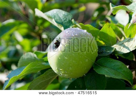 Apple In The Dew.