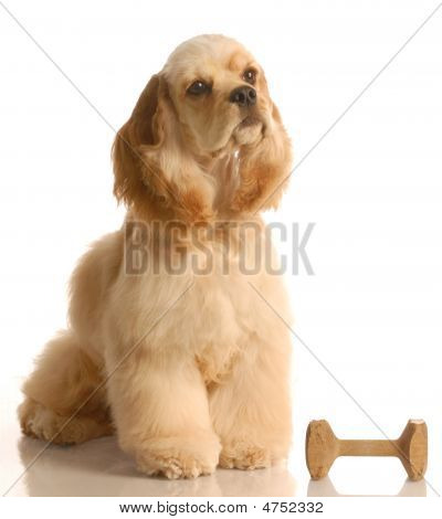 Cocker Spaniel With Dumbbell