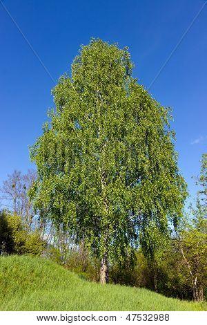 Árbol de abedul