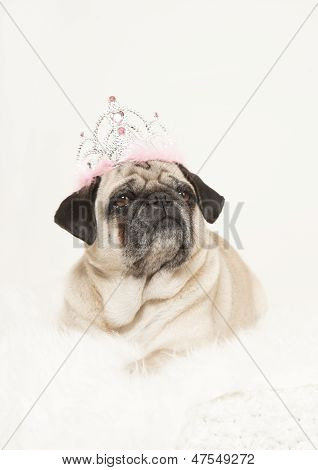 Male Pug With A Crown