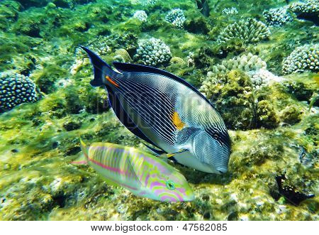 Arabian Surgeonfish And Klunzinger's Wrasse Fish Underwater