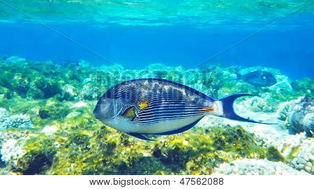 Arabian Surgeonfish Underwater Deep Red Sea