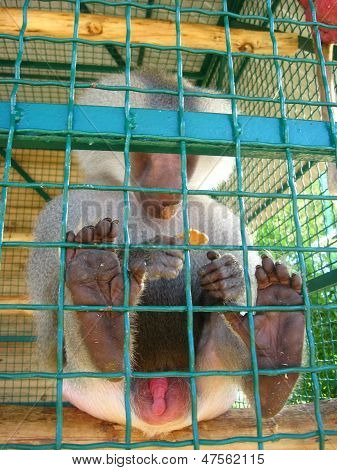 Baboon With Genitals Naked Sitting Beyond The Bar