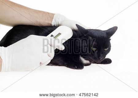 Mikrochip-Kennzeichnung auf schwarze Katze