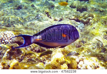Beautiful Arabian Surgeonfish Underwater Deep Red Sea
