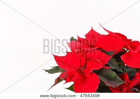 Poinsettia rojo aislado sobre un fondo blanco