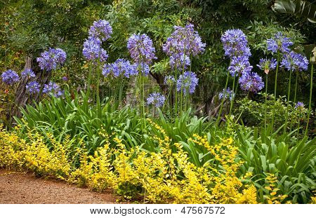 Blue African Lily (agapanthus Africanus) Flowers