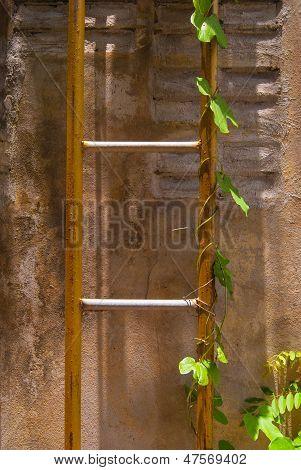Ivy Ladder