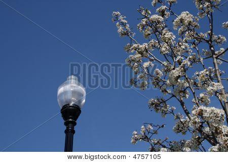 Cherry Blossoms Next To A Light Pole