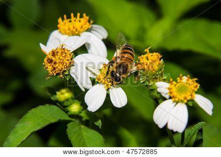 Macro Of Bee On Flower