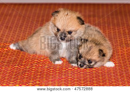 Two Little Fluffy Pomeranian Puppy