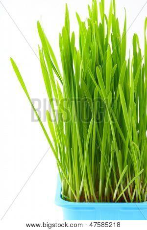 Wheatgrass en maceta
