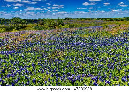 A Crisp Wide Angle View of a Bluebonnet Meadow in Texas on a Blue Sky White Cloud Day.