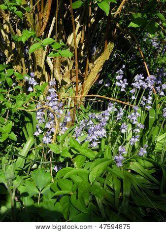 Bluebells (Endymion non-scriptus)