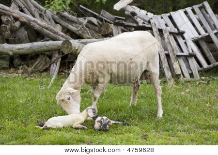 Ewe Cleaning Newborn Lambs