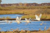 picture of trumpeter swan  - Four Trumpeter Swans  - JPG