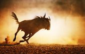 pic of wildebeest  - Blue wildebeest running in dust  - JPG