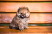 Pomeranian Puppy On A Bench