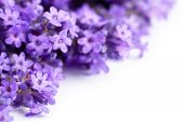 image of fragrance  - Lavender flowers on white background. Copy space. Macro shot
